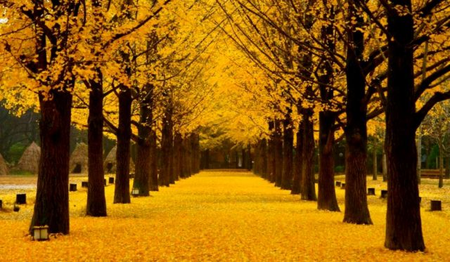 Nami Isalnd metasequoia path in the fall